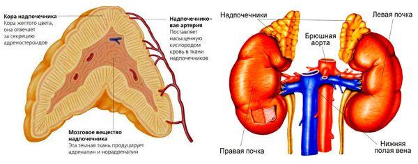 анатомия надпочечников